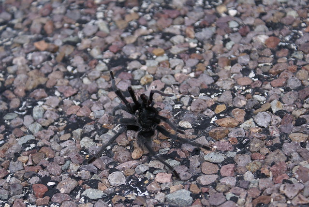 tarantula dance