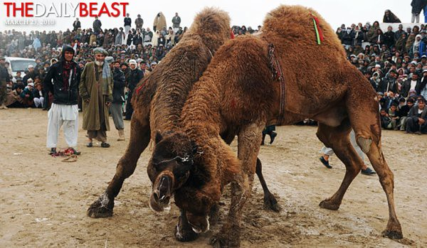 afghan camel fighting
