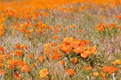 Antelope Valley California Poppy Reserve, State Natural Reserve, Field of Poppies (darthjenni) Tags: california trip travel vacation orange plant flower nature landscape carpet outdoors spring desert hike belly trail mojave poppy lancaster bloom wildflowers breathtaking palmdale antelopevalleycaliforniapoppyreserve breathtakinggoldaward breathtakinghalloffame tripleniceshot