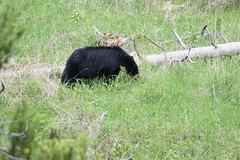 Using its nose! (Connie Etter Photography) Tags: vacation sony yellowstone blackbear 2010