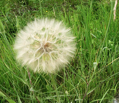 giant wishing flower (jlolindseyman) Tags: flower nature wishingflower