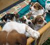 Hunde - 44 (Manfred Lentz) Tags: pets dogs puppies pubs hunde littledogs welpen hündchen babydogs whelps