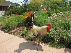 20100413emma prusch chickens0260