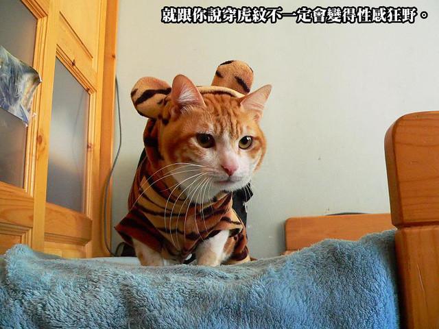 披著虎皮的貓