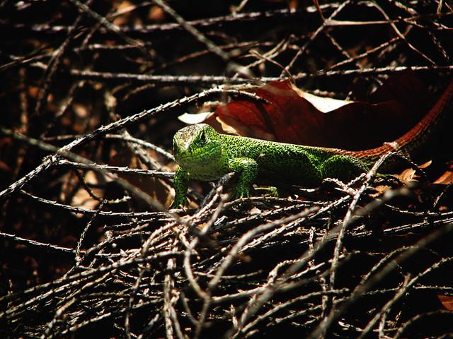 Carpathian Lizard