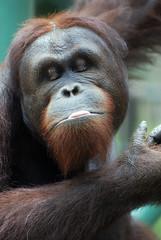 Orangutan (floridapfe) Tags: face animal zoo nikon expression korea orangutan ape everland 에버랜드