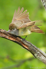 Great Crested Flycatcher (~ Michaela Sagatova ~) Tags: bird nature leap nesting highiso flycatcher greatcrestedflycatcher myiarchuscrinitus michaelasagatova