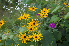 Black-eyed Susans and Bee Balm