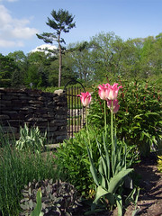 Tulips at the Cornell plantations