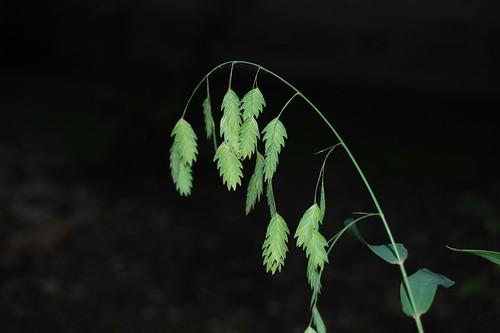Seaoat Grass