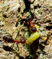17/05/10 (Chris7D) Tags: macro eating ant ants fighting burnham burnhambeeches beeches kenkoextension