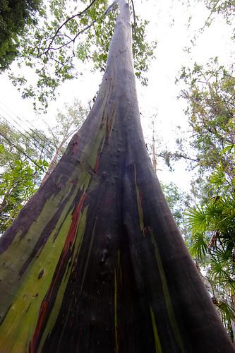 Name This Plant- Eucalyptus Deglupta