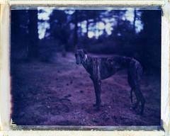 Kino in Prescott, AZ (moominsean) Tags: arizona greyhound dark polaroid cool kino pines shade instant brindle prescott 190 ndfilter forets iduv thelittledoglaughed panpola expired022008