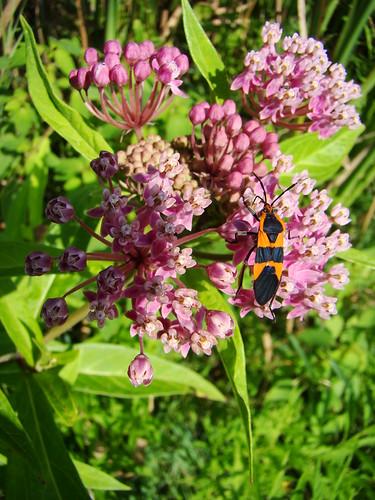 milkweed bug on milkweed
