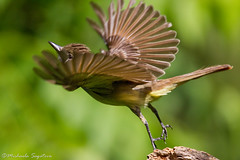 Great Crested Flycatcher (~ Michaela Sagatova ~) Tags: bird nature dundas takeoff bif flycatcher greatcrestedflycatcher dvca michaelasagatova myiarchuscriniyus