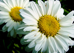 daisies (bdaryle) Tags: white flower nature yellow daisies petals twins sony flor margaritas flowersarebeautiful awesomeblossoms brandondaryle bdaryle imagesbybrandon silveramazingdetails goldamazingdetails