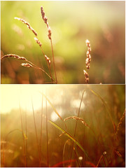 The perk of being a weed (wingxstock) Tags: sunset red orange 50mm weed glow natural f14 goldenhour warmtones wildnerness