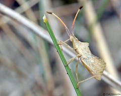 Bug - Syromastus rhombeus (timz501) Tags: jersey coreidae syromastusrhombeus