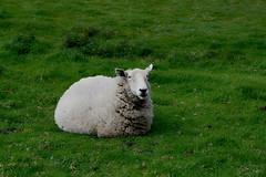 """Oveja (""""REFO"""") Tags: espaa verde del la asturias playa el prado cudillero silencio oveja cabras parroquia hierba tumbada refoyo refo gavieru"""