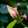 BW398 Pink Hibiscus (listentoreason) Tags: pink usa plant flower color nature closeup america canon geotagged unitedstates pennsylvania geocoded favorites places hibiscus longwoodgardens floweringplant toflickr angiospermae dicot magnoliophyta magnoliopsida angiosperm ef28135mmf3556isusm score40 malvales eudicot eudicotyledon