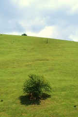 the only shade around (kosova cajun) Tags: summer mountains tree landscape highlands sheep dele alpinemeadow rugova peisazh bog rugov bjeshktenemuna accursedmountains bjeshk albanianalps alpetshqiptare