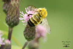 Have   a  Very  Buzzy   Day (logsdon_mry) Tags: black yellow purple bee wv canonrebelxs