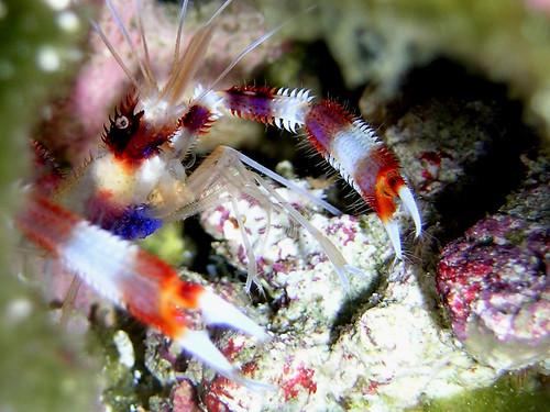 coral banded shrimp 060