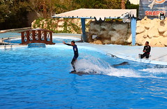 surfing (Stian Vang Hansen) Tags: show vacation holiday water fun jumping funny dolphin egypt sharmelsheikh surfing tricks dolphinella