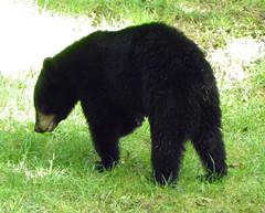 Dickerson Park Zoo - Springfield, MO (Adventurer Dustin Holmes) Tags: bear animal animals bears predator blackbear predators ursusamericanus mammel omnivores omnivore dickersonparkzoo americanblackbear mammels