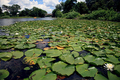 Water Lilies (Lucie Maru) Tags: flowers summer usa white lake plant flower reflection green water leaves minnesota leaf pond waterlily lily blossom minneapolis reflect lilies bloom bud lilypads float sprout nymphaea drift freshwater lakeoftheisles lilum perennialplant hardywaterlilies
