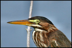Green Heron - Close up