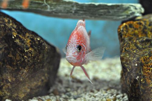 Strawberry Peacock Cichlid