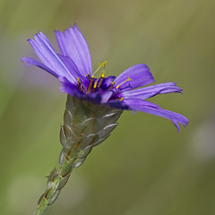 Cupidone (Catananche caerulea) Cupid's Dart (Sinkha63) Tags: summer france flower macro nature fleur die wildflower asteraceae flore rhonealpes drme et cupidsdart catananche catananchecaerulea chapias astraces hierbacupido cigaline cupidone catananchebleue cupidonebleue