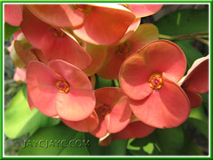 An orange-red Euphorbia milii that lightens to salmon-coloured as it ages