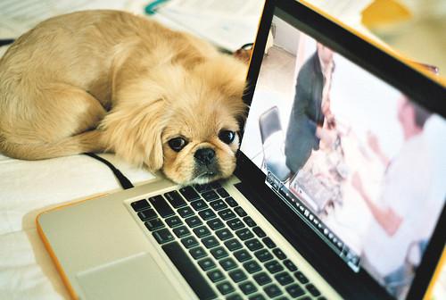 フリー写真素材, 動物, 哺乳類, イヌ科, 犬・イヌ, ペキニーズ, PC・パソコン,