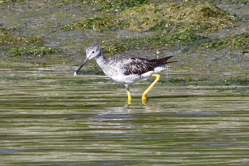yellowlegs pocasset 2