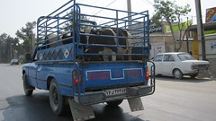 Cows in truck
