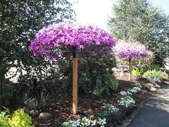 Petunia Tree
