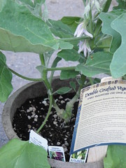 Double Grafted Eggplant