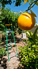 Orange you glad... (Eric W_) Tags: ca orange grove vista