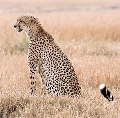 IMG_8847 -Cheetah -evening light (maqsmughal) Tags: lens wildlife cheetah bigcats masaimara 40d 100400lis maqs flickrbigcats