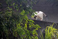 IMG_0526 (翔志) Tags: taiwan taipei 台灣 台北 貓 taipeicounty 台北縣 侯硐 houtong 猴硐 瑞芳鎮 貓村 catvillage rueifangtownship houtongcatstreet 百貓街