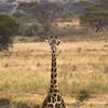 (rodders.) Tags: deleteme5 deleteme8 deleteme deleteme2 deleteme3 deleteme4 deleteme6 deleteme9 deleteme7 tanzania saveme4 saveme5 saveme6 saveme saveme2 saveme3 saveme7 deleteme10 giraffe deleteme11 tarangire