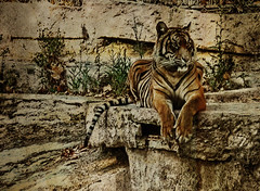 At the zoo (Perrimoon) Tags: textura zoo tigre