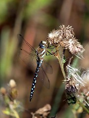 Migrant Hawker (Aeshna mixta) (saxonfenken) Tags: macro field insect fly wings dragonfly bigmomma migranthawker aeshnamixta gamewinner 6974 friendlychallenge yourock1stplace pregamewinner 6974insect