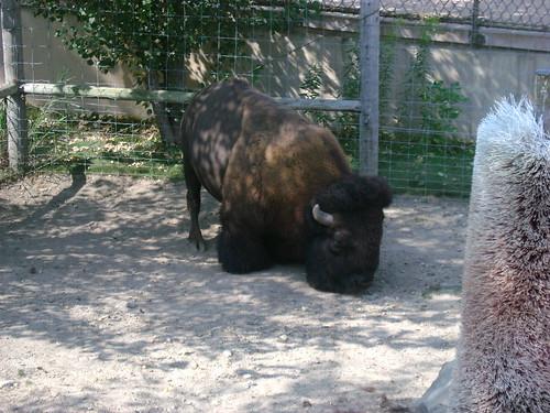 Bison!!