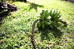 bananas (54callan) Tags: sky beach clouds canon landscape 50mm hawaii 14 resort bigisland kona 2470mm 2470 canon5dmark2 canon5dmarkii