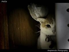 Malice /  (AmpamukA) Tags: pet home animal cat dark domestic revenge half neko tone malice oshi    totallythailand  ampamuka doublyniceshot tripleniceshot