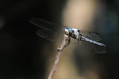 2010 Great Blue Skimmer (Libellula vibrans) (DrLensCap) Tags: county railroad blue chicago abandoned robert forest way insect spur fly illinois dragon pacific dragonfly district union great cook trails right il trail rails to preserve kramer weber preserves skimmer libellula vibrans of