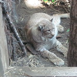 Snowshoe the Lynx thumbnail